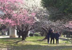 梅の花満開 - (福)健康会